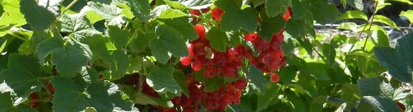 Beerensträucher